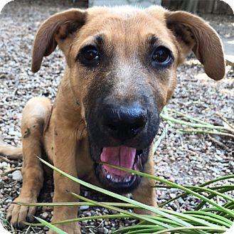 Shepherd (Unknown Type) Mix Dog for adoption in Austin, Texas - Driggs