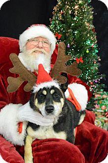 Cardigan Welsh Corgi/Welsh Corgi Mix Dog for adoption in Memphis, Tennessee - Charlie Runkle
