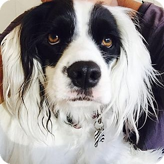 English Springer Spaniel Mix Puppy for adoption in Orange, California - Noel