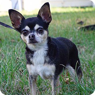 Chihuahua Dog for adoption in Durham, North Carolina - Chitta