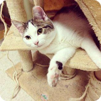 Domestic Shorthair Cat for adoption in Columbus, Ohio - Anna