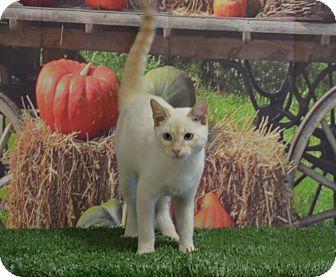 Siamese Cat for adoption in Lebanon, Missouri - Sammy