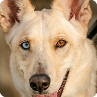 Adopt A Pet :: Shelby - Evansville, IN