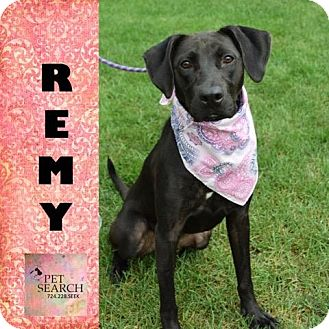 Labrador Retriever Mix Dog for adoption in Washington, Pennsylvania - Remy