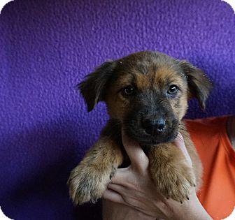 Golden Retriever/Australian Shepherd Mix Puppy for adoption in Oviedo, Florida - Diddley