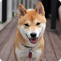 Adopt A Pet :: Arigato - Manassas, VA