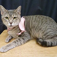 Domestic Shorthair Cat for adoption in League City, Texas - Sandy