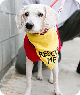 Poodle (Miniature) Mix Dog for adoption in Los Angeles, California - Morley Safer