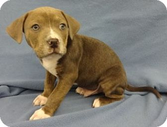 American Pit Bull Terrier Mix Puppy for adoption in Olive Branch, Mississippi - Tucker