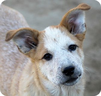 Australian Cattle Dog/Australian Shepherd Mix Puppy for adoption in Liberty Center, Ohio - Vella