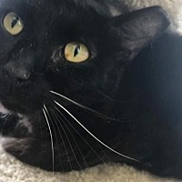 Domestic Shorthair Cat for adoption in Livonia, Michigan - Galileo (PSP)