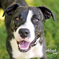 American Pit Bull Terrier Mix Dog for adoption in Lyons, New York - Tessa