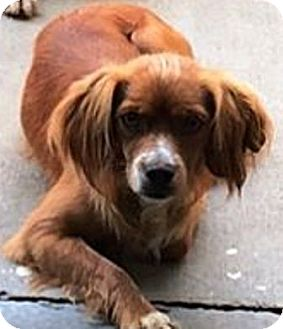 Cocker Spaniel/Cavalier King Charles Spaniel Mix Puppy for adoption in Oswego, Illinois - I'M ADOPTED Randy (Red) Steele