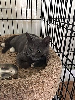 Domestic Shorthair Kitten for adoption in Alpharetta, Georgia - Bonnie