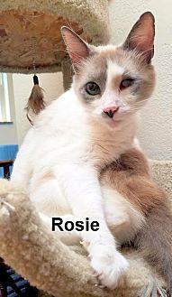 Siamese Cat for adoption in Oklahoma City, Oklahoma - Rosie