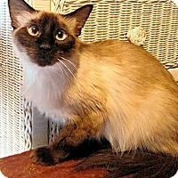 Siamese Cat for adoption in Williston Park, New York - Siam Lily