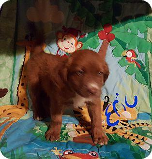 Boxer/German Shepherd Dog Mix Puppy for adoption in Niagra Falls, New York - Eric