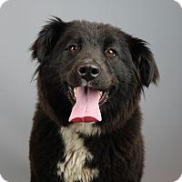 Adopt A Pet :: Bella - Columbia, IL