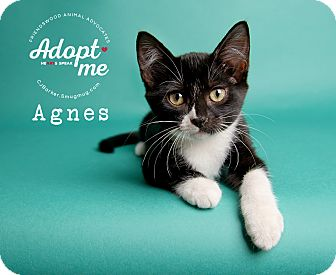 Domestic Shorthair Kitten for adoption in Friendswood, Texas - Agnes