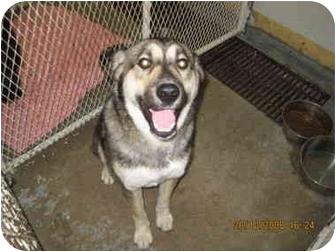 Husky/Shepherd (Unknown Type) Mix Dog for adoption in Taber, Alberta - Nemo