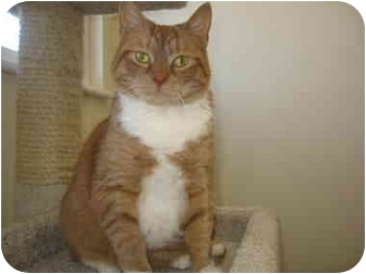 Domestic Shorthair Cat for adoption in Morrisville, Vermont - Virginia