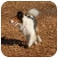 Photo 4 - Sheltie, Shetland Sheepdog Dog for adoption in Ft. Myers, Florida - Kenzie