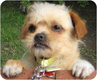 Pekingese Mix Puppy for adoption in Los Angeles, California - Schroeder