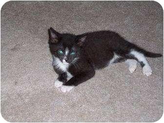 Domestic Shorthair Kitten for adoption in Randolph, New Jersey - Sam Max