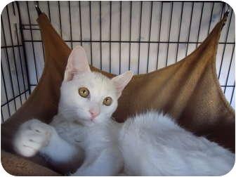Domestic Shorthair Cat for adoption in Turlock, California - 1031-1113