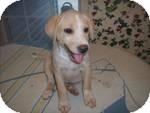 Labrador Retriever Mix Puppy for adoption in East Hartford, Connecticut - sabrina