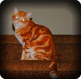 Domestic Shorthair Cat for adoption in Yuba City, California - Sheldon