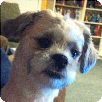 Lhasa Apso/Shih Tzu Mix Dog for adoption in Mays Landing, New Jersey - Harley-PA