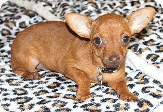 Chihuahua Puppy for adoption in Temecula, California - Cashew