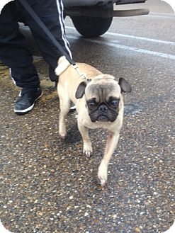 Pug Dog for adoption in Brownsville, Texas - Frank II