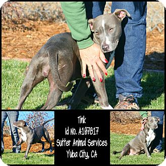 American Pit Bull Terrier Mix Dog for adoption in Yuba City, California - 11/16 Tink