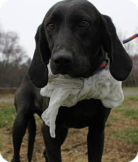 Labrador Retriever/Plott Hound Mix Dog for adoption in Mineral, Virginia - Winnie