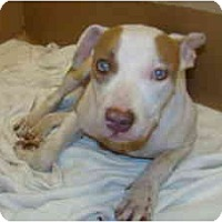 American Pit Bull Terrier Dog for adoption in Wylie, Texas - Dottie