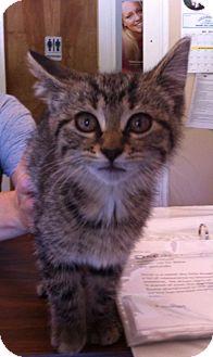 Domestic Shorthair Cat for adoption in Loogootee, Indiana - Akela
