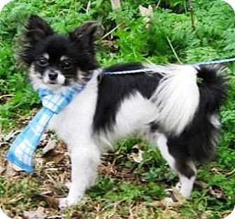 Pomeranian/Chihuahua Mix Dog for adoption in Oswego, Illinois - I'M ADOPTED Twix Nauman