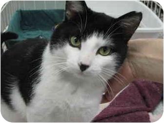 Domestic Shorthair Cat for adoption in Alden, Iowa - Little Joe