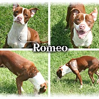 Adopt A Pet :: Romeo - Tampa, FL