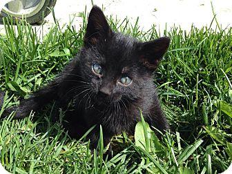 Domestic Shorthair Kitten for adoption in Salt Lake City, Utah - Texas