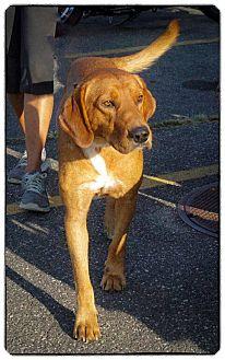 Labrador Retriever Mix Dog for adoption in Freeport, New York - Winston