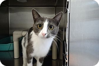 Domestic Shorthair Kitten for adoption in Elyria, Ohio - Dora the Explorer