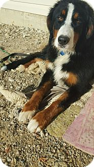 Bernese Mountain Dog Puppy for adoption in Mount Gilead, Ohio - Grace