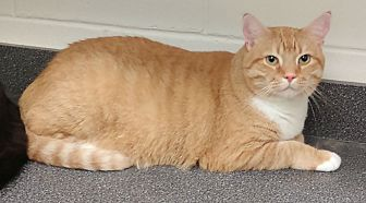 Maine Coon Cat for adoption in Barnwell, South Carolina - Simba