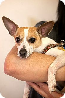 Jack Russell Terrier/Chihuahua Mix Dog for adoption in Tijeras, New Mexico - Nyx