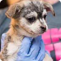 Adopt A Pet :: Rue - Minneapolis, MN