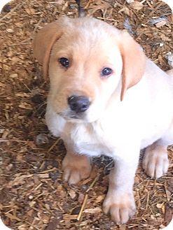 Labrador Retriever Mix Puppy for adoption in Haggerstown, Maryland - Mitzi