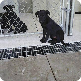 Labrador Retriever Puppy for adoption in Staunton, Virginia - 5 Lab Puppies